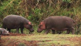 Hipopotam, hipopotamowy amphibius, dorosli z Otwartym usta, Masai Mara park w Kenja, zdjęcie wideo