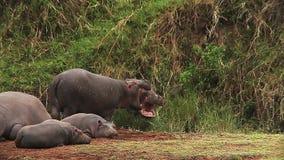 Hipopotam, hipopotamowy amphibius, Youngs spać i dorosli z Otwartym usta, Masai Mara park w Kenja, zbiory