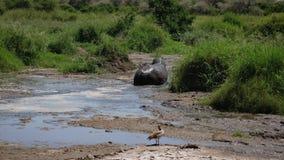 Hipopotam Iść Przez kałuży I Całkowicie Maże Z błotem W ten sposób Jak no Przegrzewać zbiory wideo