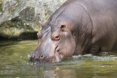 Hipopotam iść w wodę Obrazy Royalty Free