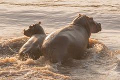 Hipopotam i jej łydka watuje przez rzeki obraz stock