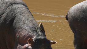 Hipopotam i oxpecker ptak przy masai Mara, Kenya zbiory