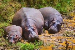 Hipopotam, Kenja, Afryka Obrazy Stock