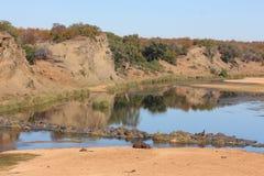 Hipopotam Letaba rzeki mostem Zdjęcie Stock