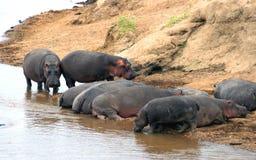 Hipopotam Masai Mara rezerwa w Kenja Zdjęcia Stock
