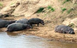 Hipopotam Masai Mara rezerwa w Kenja Obrazy Royalty Free