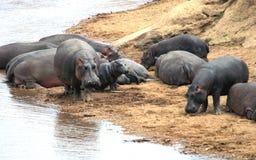 Hipopotam Masai Mara rezerwa w Kenja Obraz Royalty Free