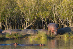 Hipopotam na banku rzeka przy zmierzchem Południowa Afryka Zdjęcie Royalty Free