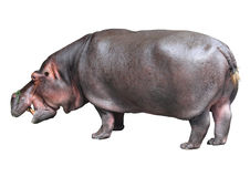 Hipopotam na biały tle Obraz Royalty Free