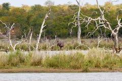 Hipopotam na brzeg Obrazy Royalty Free