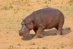 Hipopotam na ziemi Zdjęcie Stock