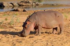 Hipopotam na ziemi - Kruger park narodowy Zdjęcia Royalty Free