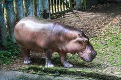 hipopotam nawadniać nawadnia Fotografia Royalty Free