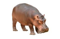 Hipopotam odizolowywający Fotografia Stock