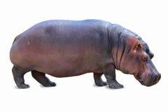 hipopotam odizolowywający Fotografia Royalty Free