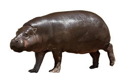 hipopotam Odizolowywający nad bielem Obrazy Royalty Free