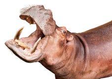 Hipopotam odizolowywający na bielu Obrazy Royalty Free
