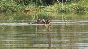 Hipopotam ono zanurza w jeziornym baringo, Kenya zbiory wideo