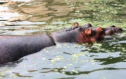 Hipopotam pływa w wodzie Zdjęcia Royalty Free