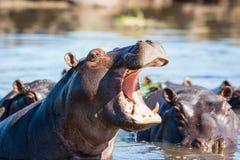 Hipopotam pokazuje zęby Obraz Royalty Free