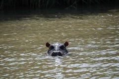 Hipopotam przy Isimangaliso bagna parkiem, Południowa Afryka Zdjęcie Stock