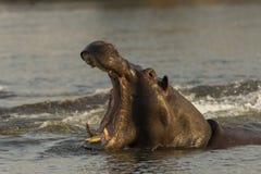 Hipopotam przy Okavango rzeką, Namibia Obrazy Royalty Free