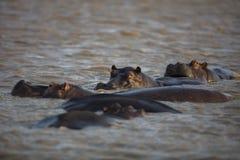 Hipopotam przy zmierzchem zdjęcie royalty free
