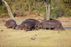 Hipopotam rodzina Zdjęcie Stock