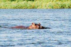 Hipopotam rodzina Zdjęcia Royalty Free