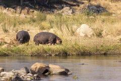 Hipopotam rzecznym Afryka Wschodnia Tanzania Obrazy Royalty Free