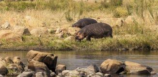 Hipopotam rzecznym Afryka Wschodnia Tanzania Fotografia Stock