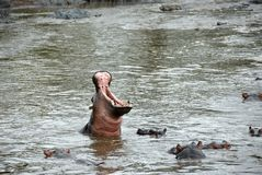 Hipopotam szkoła przy Seronera rzeką, Tanzania, Afryka Fotografia Royalty Free