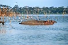 hipopotam szkoła Zdjęcia Royalty Free