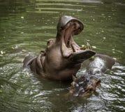 Hipopotam, trawożerny ssak w okręcie podwodnym/hipopotamowy, przeważny, Fotografia Royalty Free