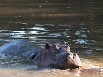 Hipopotam up zamknięty Obrazy Stock