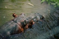 Hipopotam w basenie w zoo przyrodzie w Fasano apulia safari Włochy obraz royalty free
