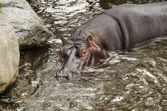 Hipopotam w Dublin zoo Fotografia Royalty Free