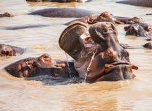 Hipopotam w hipopotama basenie zdjęcie royalty free