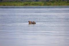 Hipopotam w Jeziornym Akagera Obraz Stock
