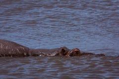 Hipopotam w jeziorze Obrazy Stock