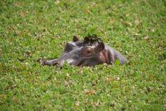 Hipopotam w kapeluszu Fotografia Stock