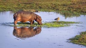 Hipopotam w Kruger parku narodowym, Południowa Afryka Zdjęcie Stock