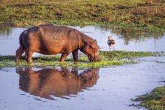Hipopotam w Kruger parku narodowym, Południowa Afryka Zdjęcia Royalty Free