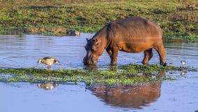 Hipopotam w Kruger parku narodowym, Południowa Afryka Fotografia Stock