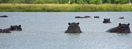 Hipopotam w Okavango delcie - Moremi park narodowy Obrazy Stock