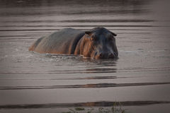 Hipopotam w rzece Obraz Royalty Free