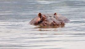 Hipopotam w wodzie Obrazy Royalty Free