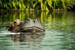 Hipopotam w wodzie pokazuje właśnie głowę obraz stock