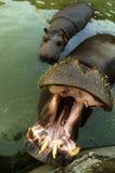 Hipopotam w zoo Fotografia Royalty Free