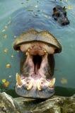Hipopotam w zoo Zdjęcie Stock